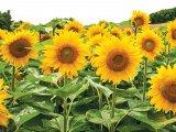 Zlatni suncokret, Vitalova nagrada